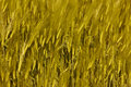 Spikes of wheat Stock Images