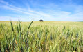 Spikes of wheat field Royalty Free Stock Photo