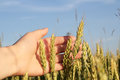 Spikes of Wheat in Hand against the Blue Sky Royalty Free Stock Photo