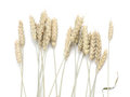 Spikes of wheat. Royalty Free Stock Photo