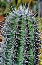 Spiky cactus Royalty Free Stock Photo