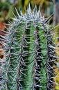 Spiky cactus Royalty Free Stock Photo