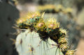 Spiky green cactus with yellow fluff Royalty Free Stock Photo