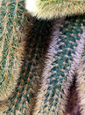 Spiky green and tan cactus in rows Royalty Free Stock Photo