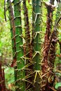 Spiky plant in rainforest borneo Stock Photography