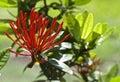 Spiky red aphelandra aurantiaca