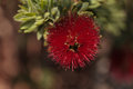 Spiky red puff flower Calliandra haematocephala Royalty Free Stock Photo