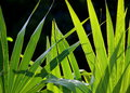Spiky tropical Green palm leaves isolated against a black background Royalty Free Stock Photo