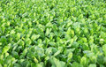 Spinach field lush green cultivated in vegetable Stock Photos