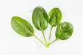 Spinach fresh green baby leaves Stock Image