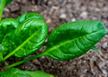 Spinach leaves Stock Image