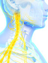 Spinal cord and upper nerves d rendered illustration Royalty Free Stock Image