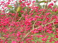 Spindle bush red in autumn lithuania Stock Photography