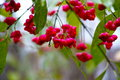 Red spindle fruits in garden Royalty Free Stock Photo