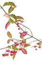 Spindle tree Royalty Free Stock Photo