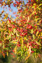 Spindle tree beautiful autumn close up view on euonymus europaeus Royalty Free Stock Image