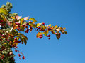 Spindle tree with distinctive fruit Royalty Free Stock Images