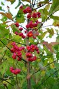 Spindle tree euonymus europaeus close up on red in nature Royalty Free Stock Images
