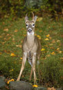 Spindly buck Royalty Free Stock Images