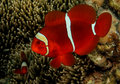 Spinecheek Anemonefish Stock Photo