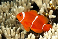 Spinecheek anemonefish a also known as a maroon clownfish premnas biaculeatus uepi solomon islands solomon sea pacific ocean Stock Photography