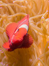 Spinecheek anemonefish on an anemone at bunaken indonesia Royalty Free Stock Photo