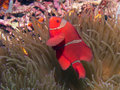 Spinecheek anemonefish on an anemone at bunaken indonesia Stock Images