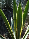 Spines on aloe plant short with yellow edging Royalty Free Stock Image