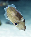 Spinesless cuttlefish, sepiella inermis Royalty Free Stock Photo