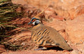 Spinifex Pigeon Royalty Free Stock Photo