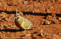 Spinifex pigeon foraging on ground, Purnululu National Park Royalty Free Stock Photo