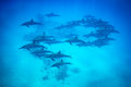 Spinner dolphin pod swimming over reef Royalty Free Stock Photo