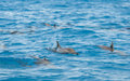 Spinner dolphins surfacing in a lagoon Royalty Free Stock Photography