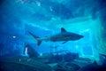 Spinner shark in Aquarium Royalty Free Stock Photo