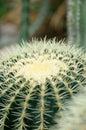 Spiny cactus Royalty Free Stock Photo