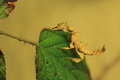 Spiny leaf insect the on the Stock Photos