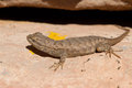Spiny lizard a cute little taking a sun bath in the desert heat Royalty Free Stock Photo