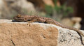 Spiny lizard a little enjoying a hot sunny day in the desert heat Royalty Free Stock Image