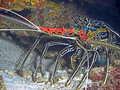 Spiny Lobster Stock Image