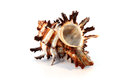 Spiny Murex Shell Royalty Free Stock Photo