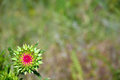 Spiny Prickly Musk Thistle Flower Plant with Shallow Focus Royalty Free Stock Photo