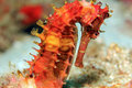 Spiny seahorse hippocampus histrix aka thorny padang bai bali indonesia Stock Photos