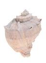Spiny seashell closeup of on white background Royalty Free Stock Photos