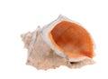 Spiny seashell isolated on white background Royalty Free Stock Images