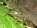 Spiny Softshell Turtle (Apalone spinifera) Royalty Free Stock Photo
