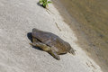 Spiny Softshell Turtle Royalty Free Stock Photo