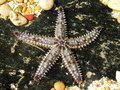 Spiny Starfish Royalty Free Stock Photo