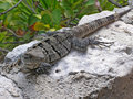 Spiny tailed iguana young doing his best to impersonate a rock Royalty Free Stock Images