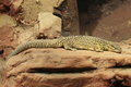 Spiny-tailed monitor Royalty Free Stock Images