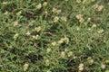Spiny or thorny burnet sarcopoterium spinosum mediterranean shrub Stock Image